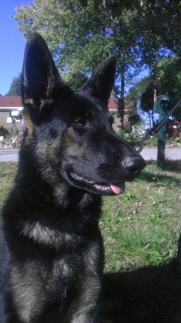 Bi color german shepherd dog
