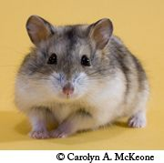 Campbell's Hamster Breed
