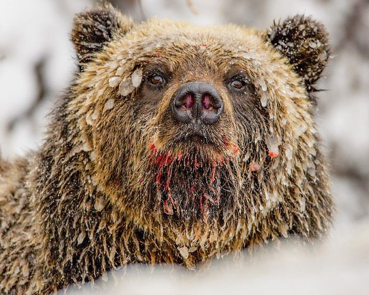 Photograph by @paulnicklen // At -20 degrees  a grizzly bear feeds along the Fishing Branch River in Canadas Yukon Territory.  Wet fur turns to ice and lips turn red with the final salmon feast of the season.  Within days this bear will enter a den for the winter and conserve energy through a long deep sleep.  Bears are now waking up both in the Yukon and British Columbia and prepare to scratch out another omnivorous season.  All week we are celebrating bears on @paulnicklen so please…