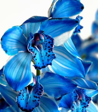 Blue Cattleya Orchid images