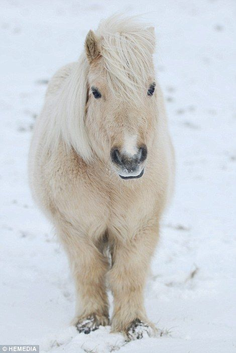 There were chillier scenes in Alford in Aberdeenshire today as a Shetland pony stood in the cold snow