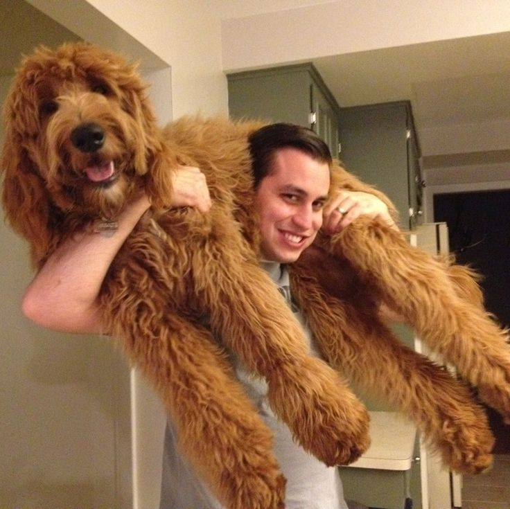 my 9 month old goldendoodle puppy and my adorable husband ralph is the size of a small horse. Black Bedroom Furniture Sets. Home Design Ideas