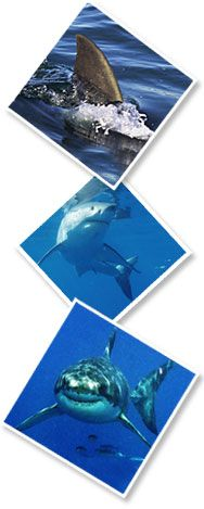 Diving with Great White Sharks at Guadalupe Island Aboard the Solmar V Luxury Live-aboard