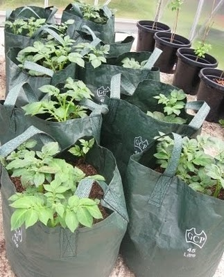 Potato Bags  Miss Vs Fork to Fork.. Adventures in & Around the Vegetable Patch: Fully hydrated and plumped up!