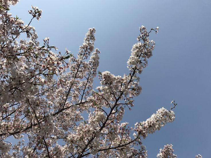 春日市  桜 満開