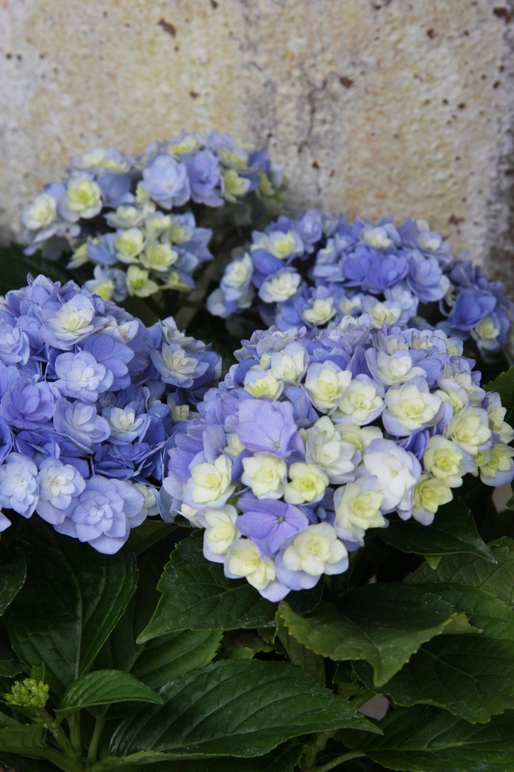 hydrangea You & Me together