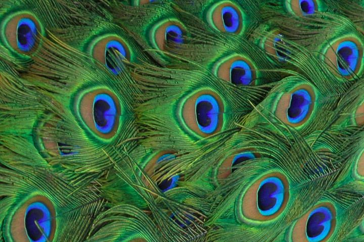 (via #spinpicks): Peacock Feathers, Feathers Patterns, Google Search, Colors Palettes, Beautiful Birds, Beautiful Cakes, Photo, Peacock Colors, Eye