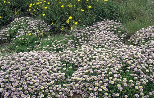 Erigeron glaucus (Seaside Daisy)