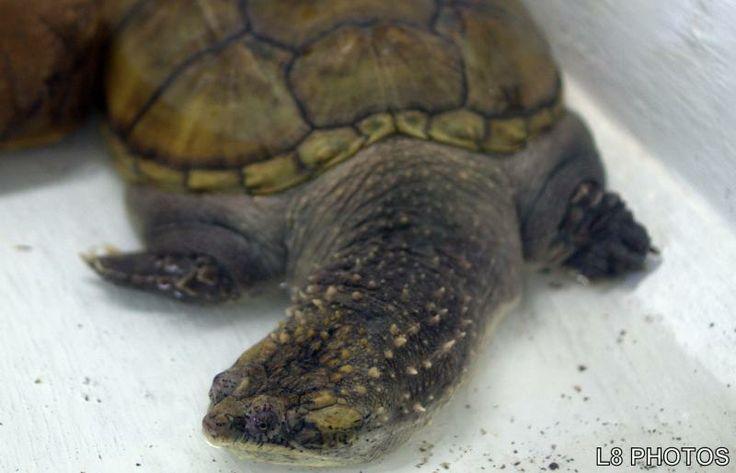 Chelydra serpentina - A tartaruga-mordedora é encontrada em quase todo o continente americano, desde o Canadá até a América do Sul. Foi introduzida na Ásia e em alguns países da Europa. É uma tartaruga de água doce e vive em riachos, lagos, lagoas e pântanos.