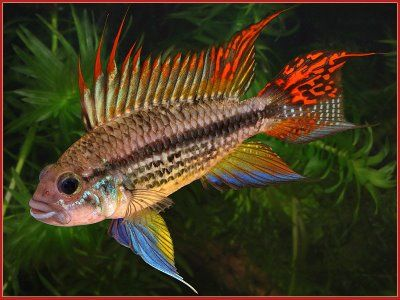 Double Full Red Cockatoo Cichlid