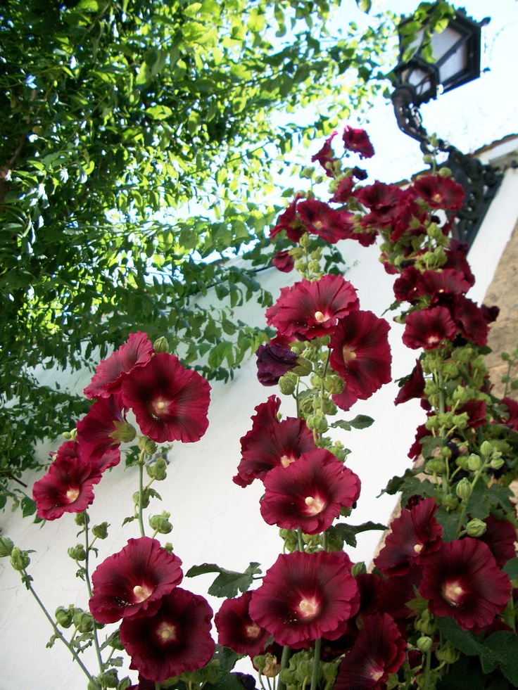 HollyhockHollyhocks, Favorite Things, Gardens Things, Flower Pow, Gardens Oasis, Trees Flower, Fabulous Flower, Beautiful Things, Hidden Gardens