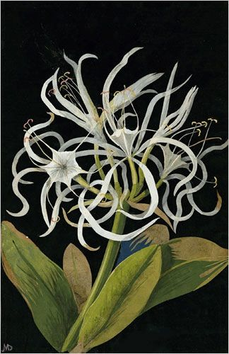 Mary Delany, Pancratium Maritinum, 1778: Mary Delany, Pancratium Maritinum, Flora, Mary Delaney, Art, Paper Flowers, Collage, British Museums, Cut Paper