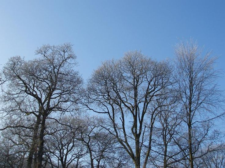 winter trees on a crisp frosty winters morning - free stock photo from www.freeimages.co.uk