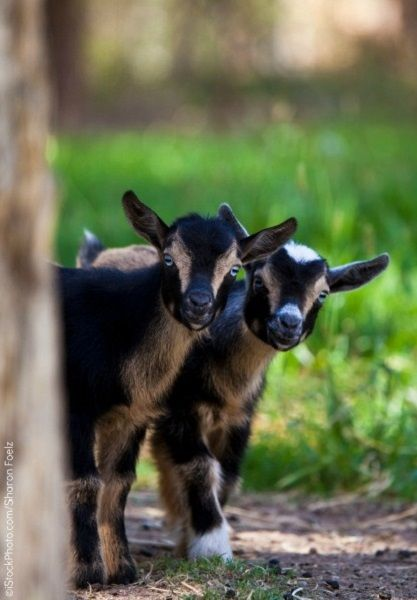 12 Goats Who Are Depending on You—and You Alone