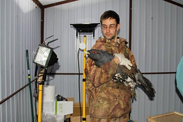 Czterdzieści głuszców z Rosji 9 października przywieziono do Puszczy Augustowskiej. Ptaki,pochodzące z dzikich populacji, zostaną wypuszczone na terenie nadleśnictw Głęboki Bród i Pomorze.