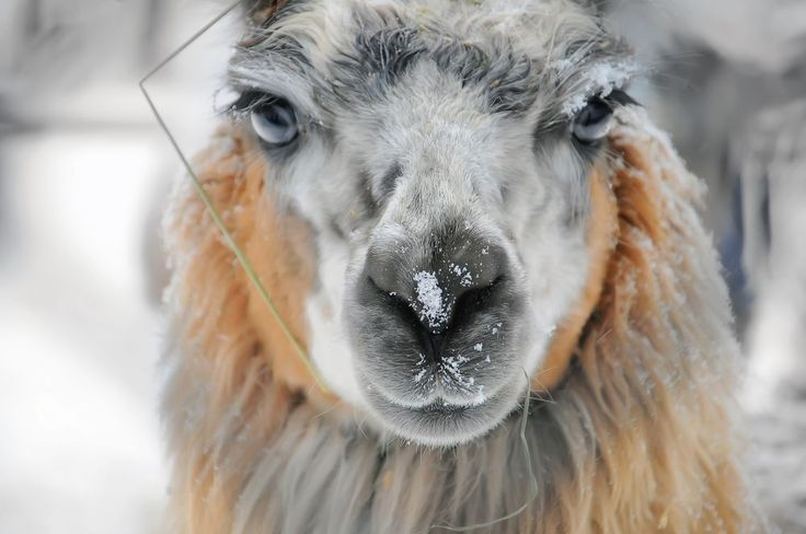 67 Best Camels And Llamas Images On Pinterest