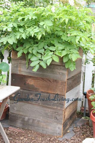 """Potato condo: """"The idea is that you build a wooden box and plant potatoes in the bottom layer. As the potatoes grow, you keep adding wood boards (and soil) to keep the stems buried, thus producing more potatoes along the stems as you move up.You get the maximum yield in a small space because you are growing vertically."""""""