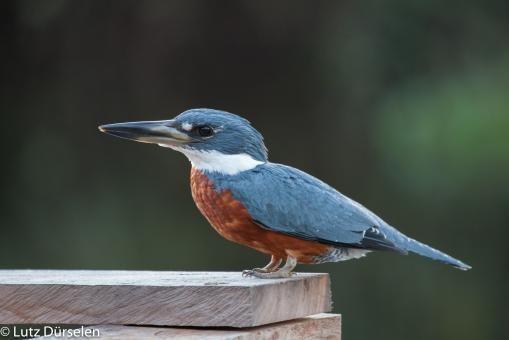 Ringed Kingfisher (Megaceryle torquata).  Locality: Hotel Pantanal Mato Grosso, Pantanal, Mato Grosso State, Brazil.