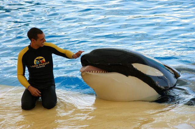 "Orca Ocean trainer Alexis Martínez having a good moment with Keto, who became his killer due to heinous & criminal corporate malfeasance. Sea World & all its subsidiary Orca ""parks"" must be dismantled & these animals must be given decent lives. Their violent behaviors, and self-destructiveness, are inevitable reactions to enslavement & torture."