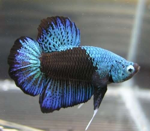 41 best images about betta plakat on pinterest for Order betta fish