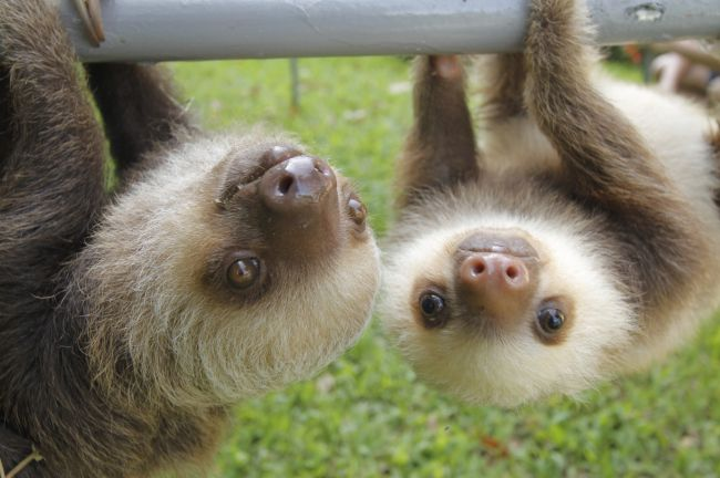 It's Sloth Week, so here's 10 great facts aboutsloths