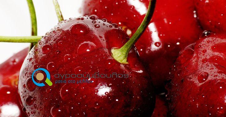 Καλλιέργεια Κερασιάς   Cherry tree