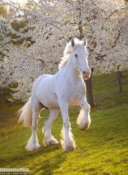 Pretty white prancing horse in front of the white blossoming flower trees. tickled-fancy : Photo