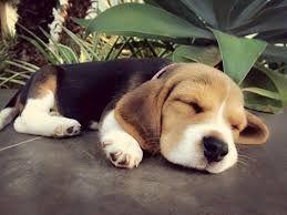 Resultado de imagen para beagle bebe tumblr
