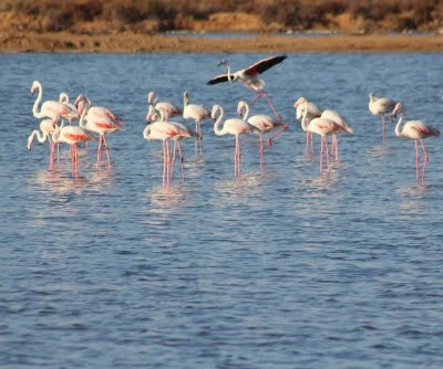 Flamingos na Ria Formosa - Faro #Algarve Portugal