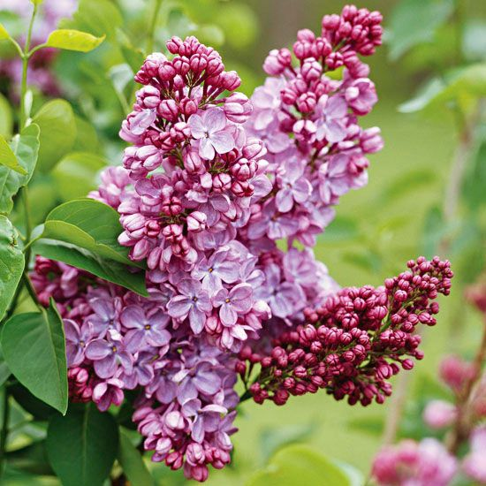 What to prune & when, from BH: Early-spring bloomers, such as lilac, forsythia, and rhododendron, bear flowers on wood formed the previous year. The best time to prune them is late spring -- immediately after they finish blooming. If you prune them later in the growing season or during winter, you'll remove flower buds and decrease the amount of spring blooms.