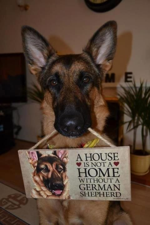 A House is not a Home without a German Shepherd...