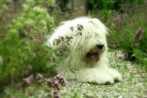 Old English Sheepdog with a big old smile!