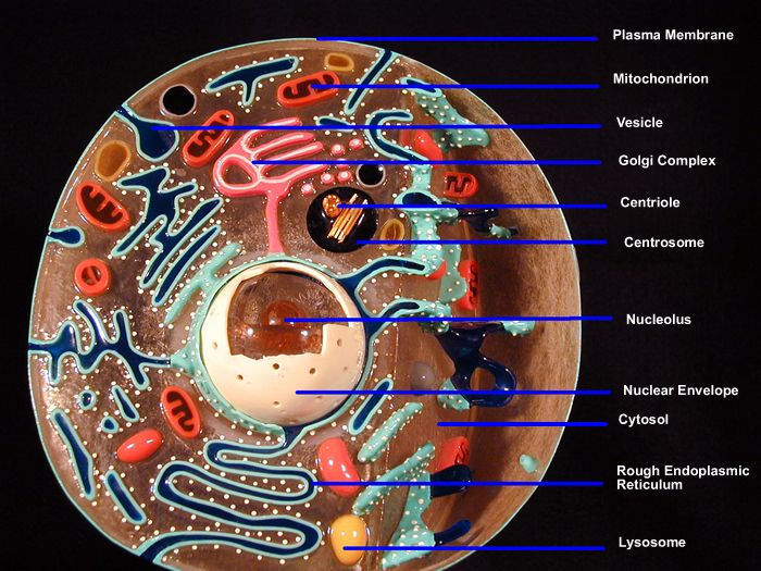 Galerry animal cell coloring diagram