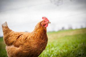 hønniker æglægningshøns høns i haven