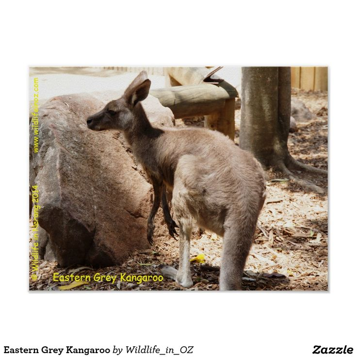 Eastern Grey Kangaroo Poster - Click on photo to view item then click on item to see how to purchase that item. #kangaroo #easterngreykangaroo #marsupial koalabear #bear #poster #wildlife #australianwildlife #zazzle