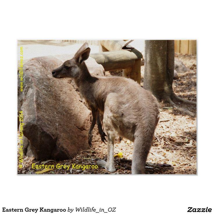 Eastern Grey Kangaroo Poster - Click on photo to view item then click on item to see how to purchase that item. #kangaroo #easterngreykangaroo #marsupial koalabear #bear #poster #wildlife #australianwildlife #zazzle