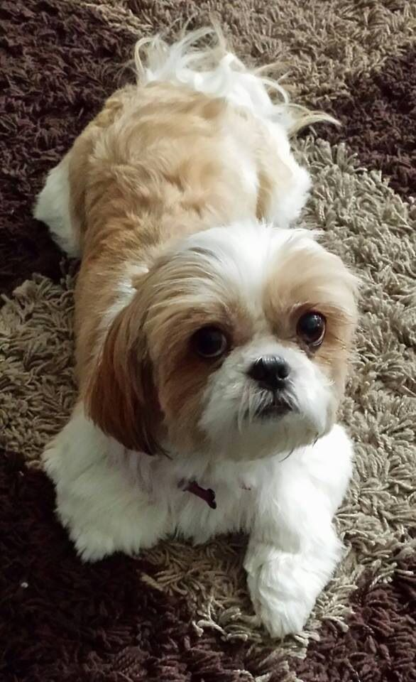 shih tzu short hair styles i this shih tzu mozzo fotos animales 7037 | be4178432b4440f4e450467e198f58bf shih tzus short hair