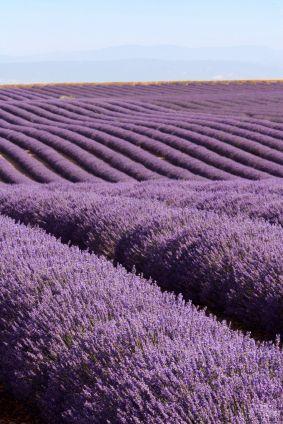 Varieties of Lavender for the Garden