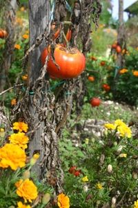 Bloemen in de moestuin: welke en waarom
