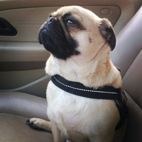 Chilly car riding! #tonythepug #pugs #dogs #puglife