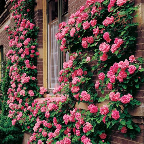 High Traffic (Thornless or almost thornless Roses)_  When planting roses in a high traffic area, one of your top concerns is safety.  Try the Zephirine Drouhin Climbing Rose. This rose is a climber, has long, thornless canes packed with repeat blooming bright pink flowers all summer.  ...easy care and sweet smelling. ...old rose variety, but still one of the best. Great rose to grow over a porch or arbor.  and it will grow in shade!  Hardy zones 5-9.