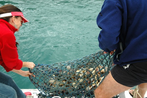Paula dragging up a load of Sounds scallops...  our favourite seafood