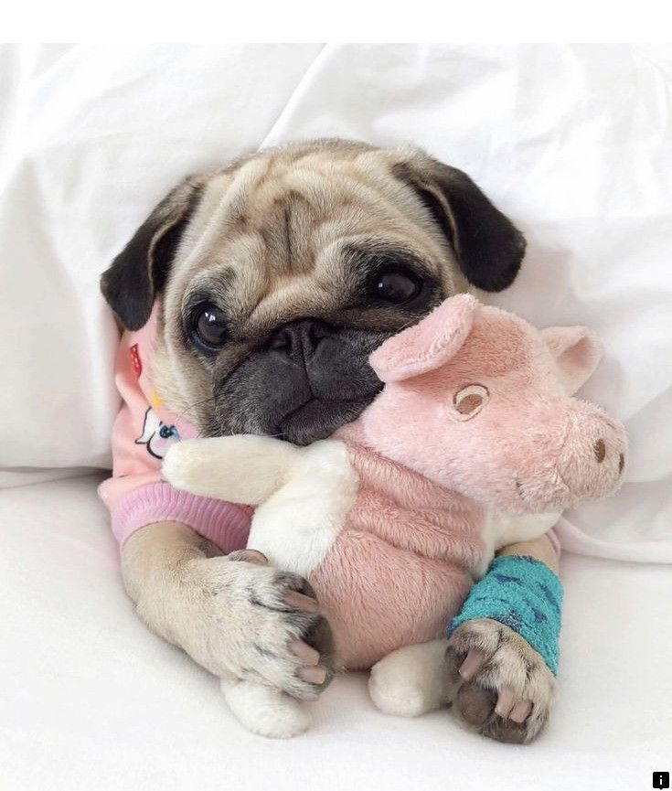 Read About Pug Rescue Near Me Please Click Here For More