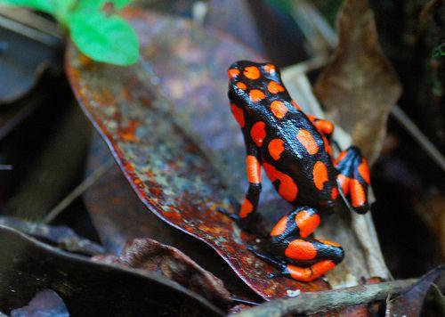 Rana venenosa en Nuquí (Chocó - Colombia) | Flickr - Photo Sharing!