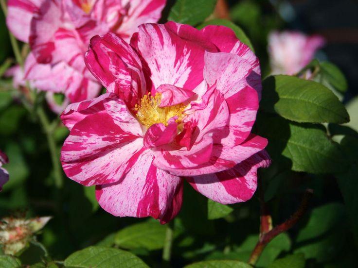 Historische Rose gallica 'Versicolor' - Rosa gallica 'Versicolor'
