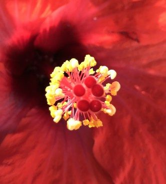 blurry background, red hibiscus, flower art, flower photography