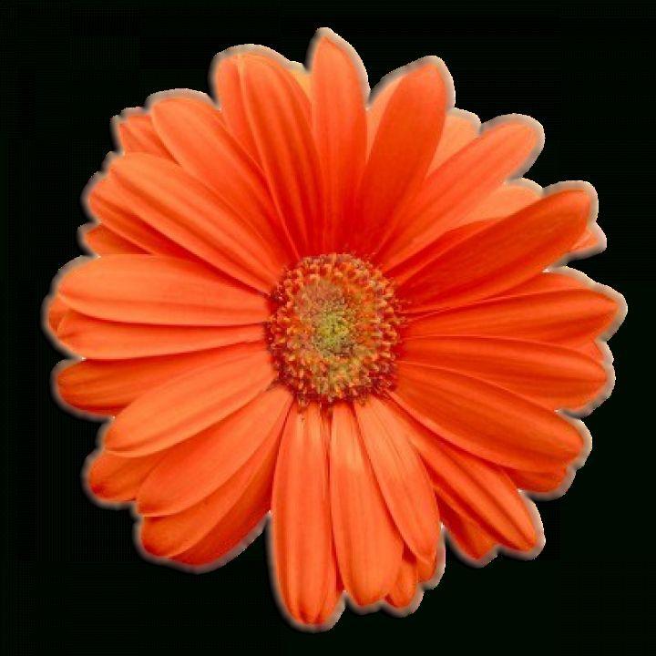 12 Flower Orange Png Flower Png Images Sunflower Png Rose Flower Png
