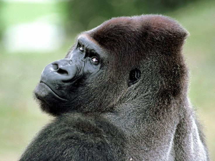 Monkeys images Gorilla HD wallpaper and background photos (14750697)