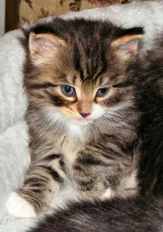 Cutest Kitten Breeds Norwegian Forest Cat