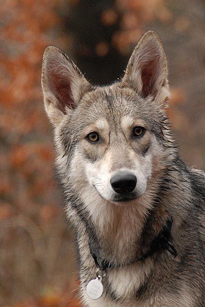 saarloos wolfshond